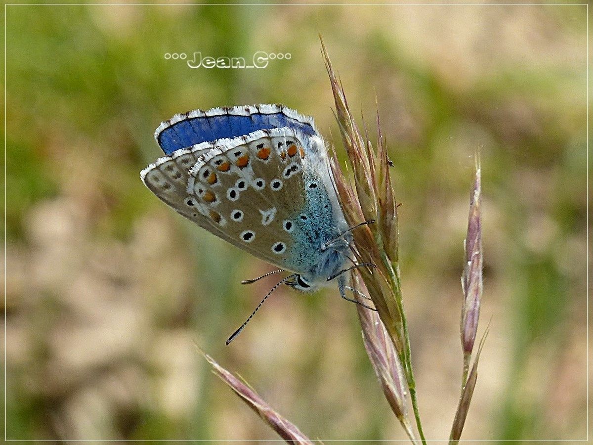 Large Blue Butterfly by Jean_C