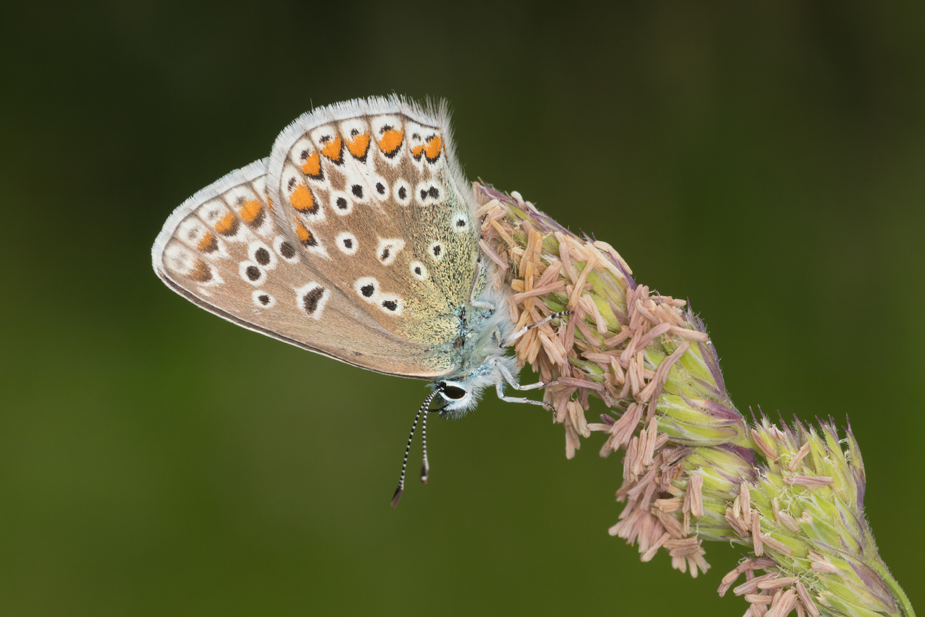 Nature shot 4 common blue butterfly