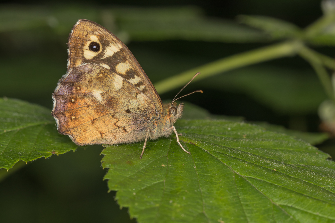 Nature shot 5 Speckled Wood butterfly