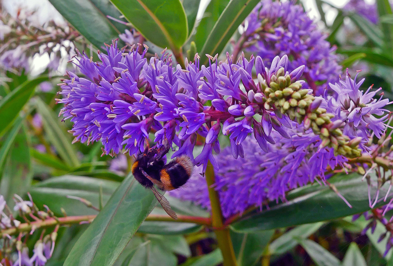 White Tailed Bumble on Hebe.
