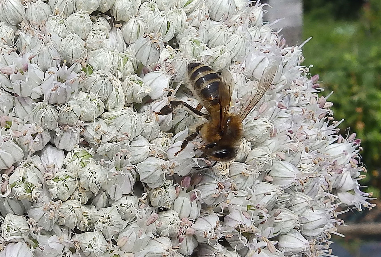Honey Bee on Leek Flower.