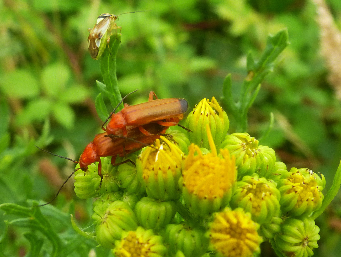 Cardinal Beetles on Ragwort