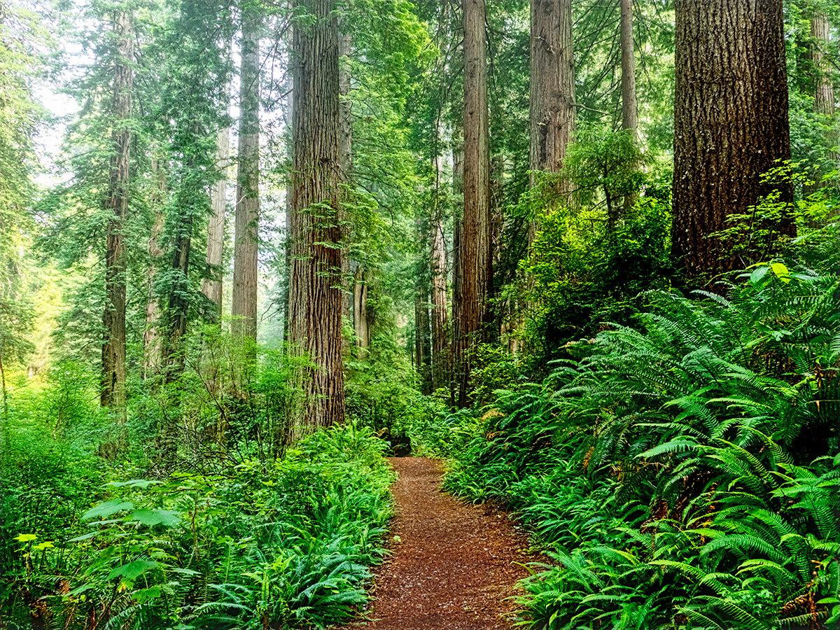 Path Through The Redwoods
