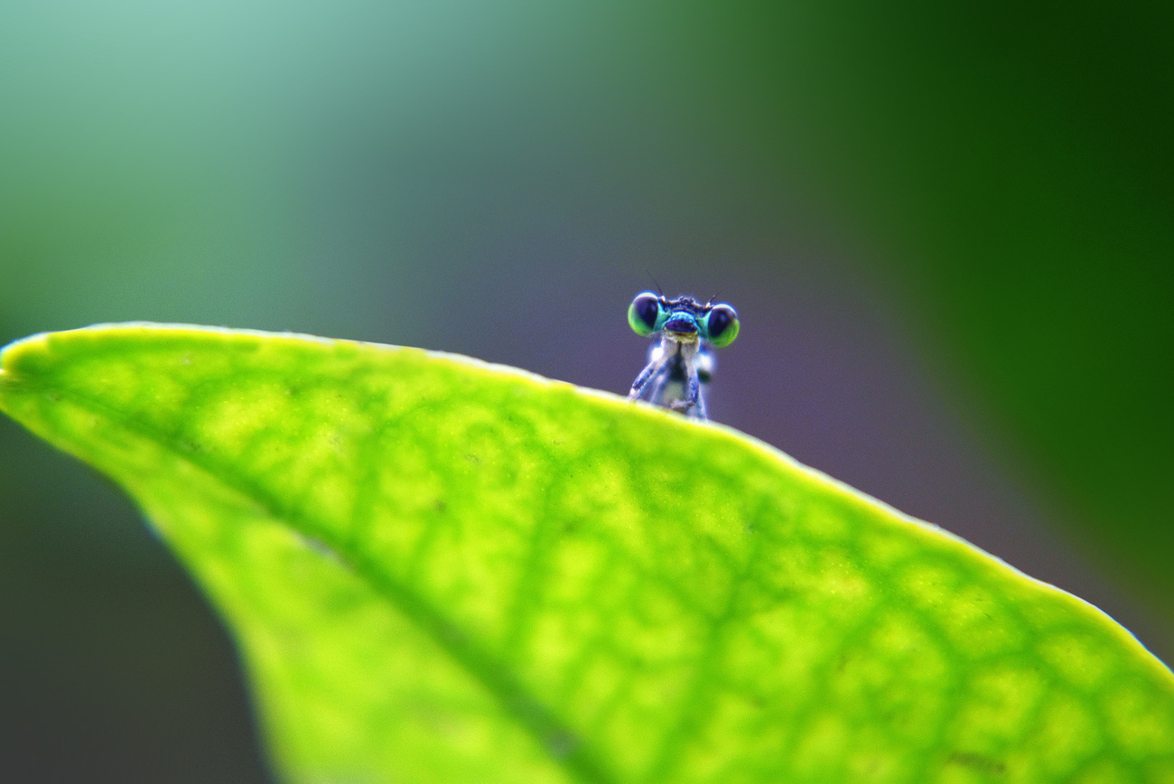 Baby dragonfly by RajRaja