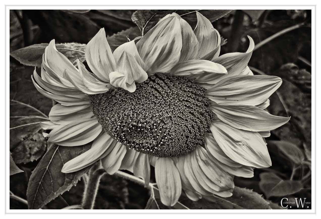 Sunflower (Monochrome)