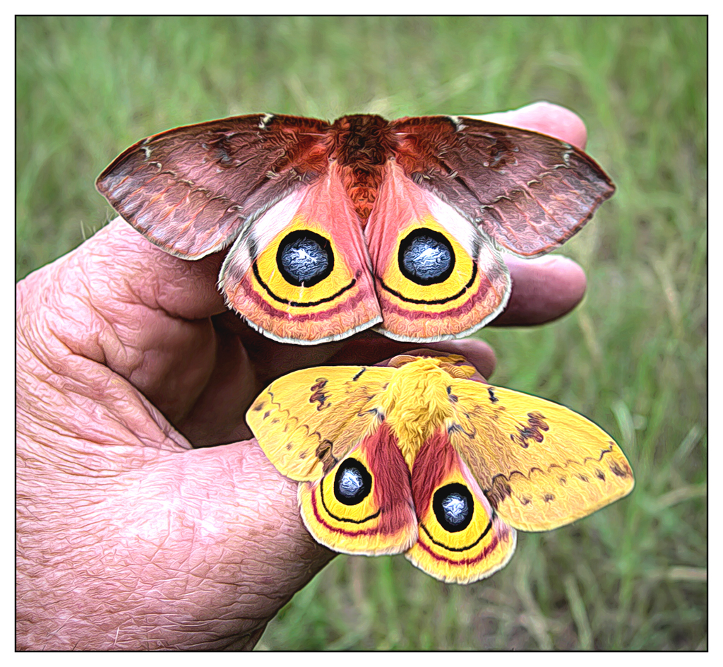 Automeris-Io-Moth---male-&-female