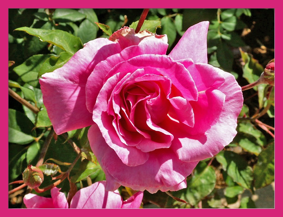 My rose for today #365