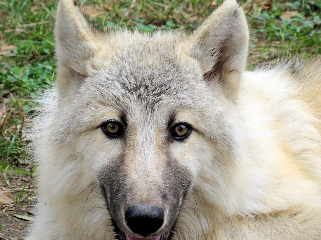 An Arctic wolf looks at you