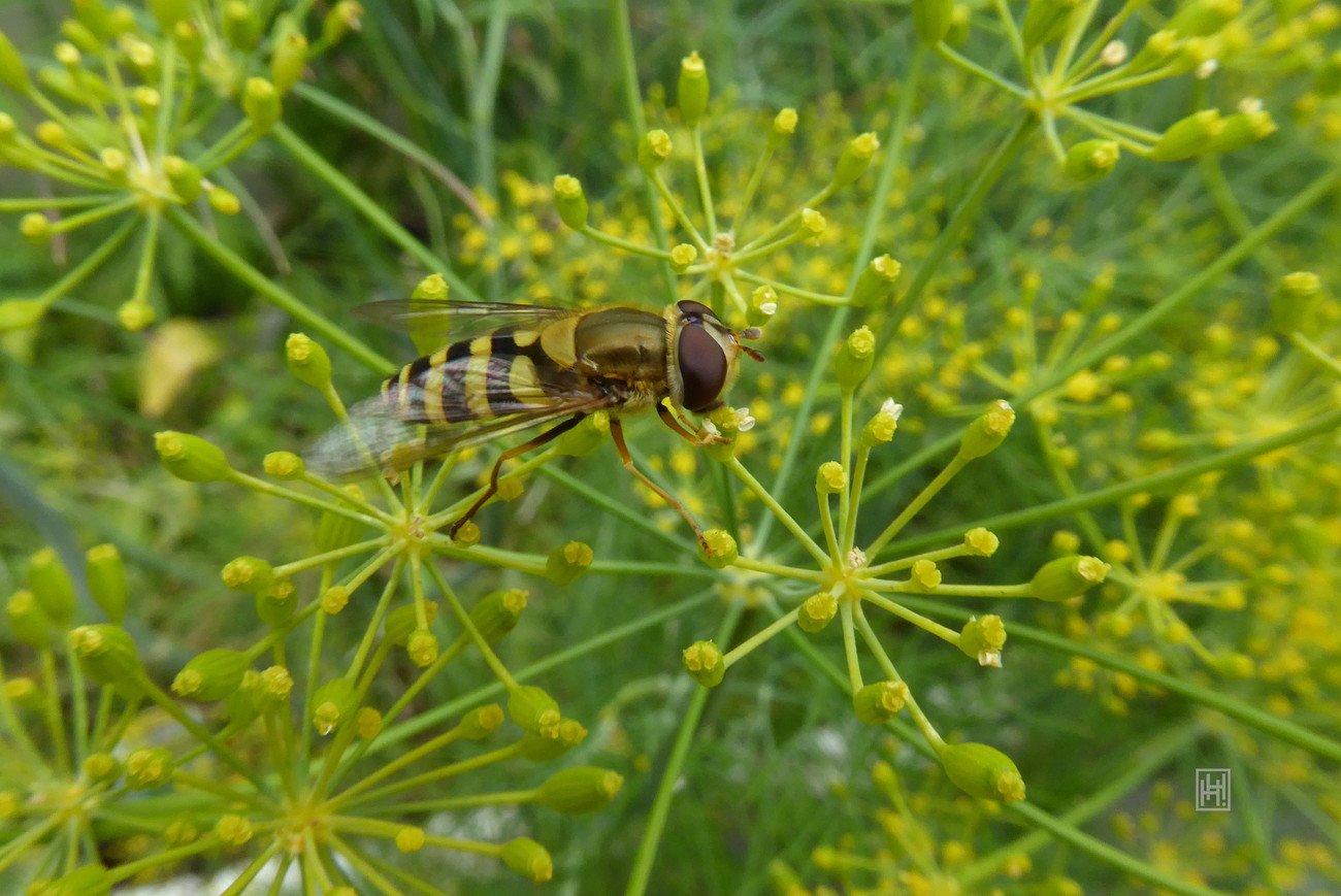 Hoverfly on Dill 2
