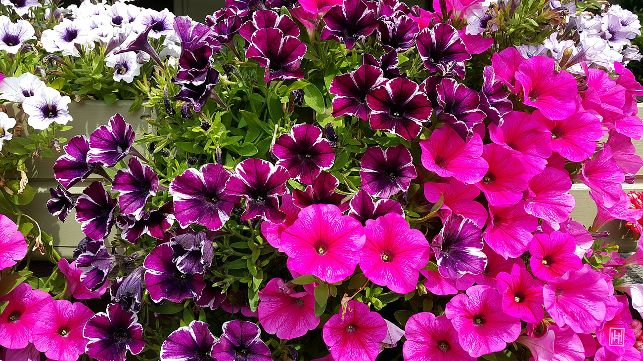 Burst of Petunias