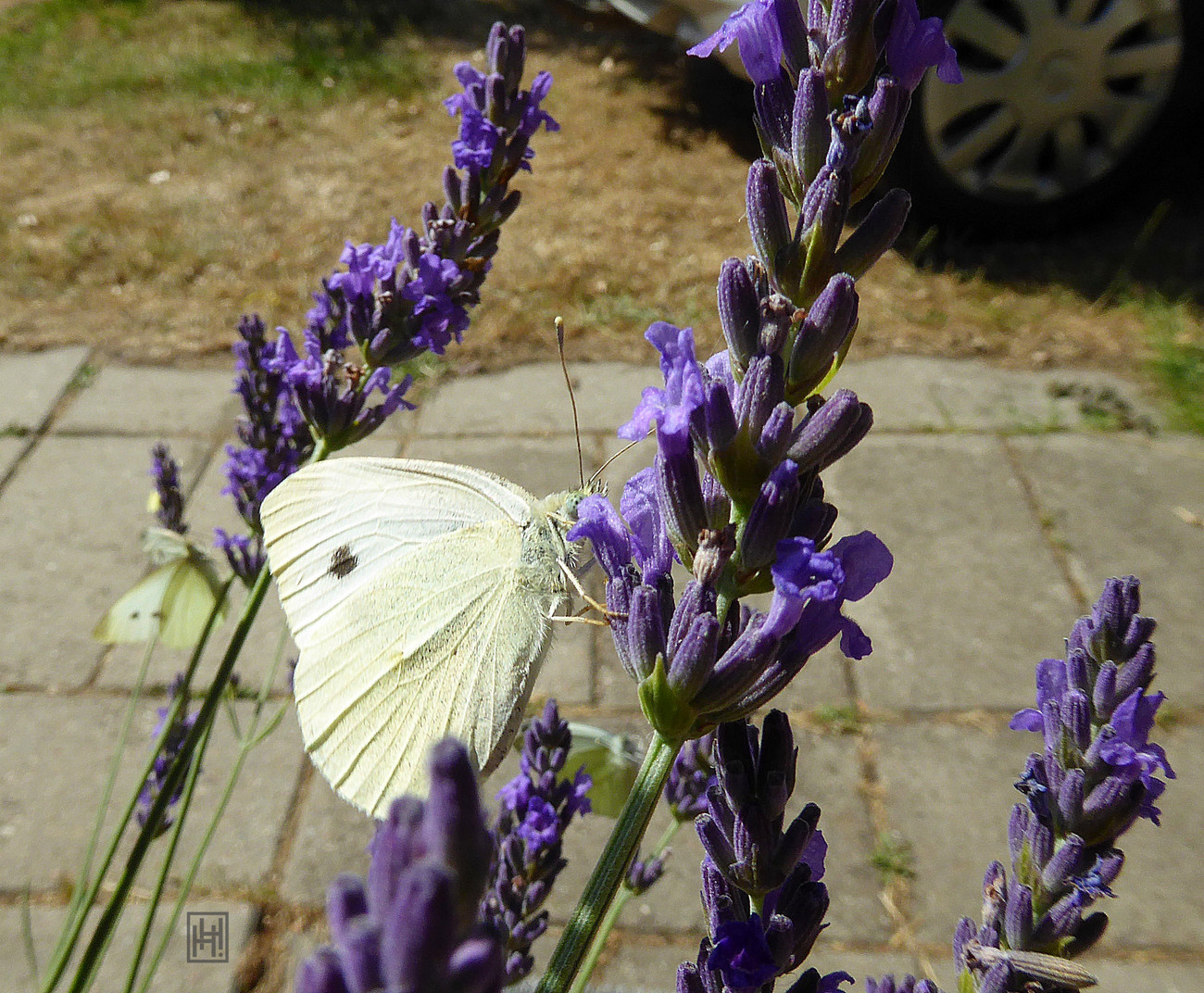 Butterfly on Lavender. For Andrea (durleybeachbum)