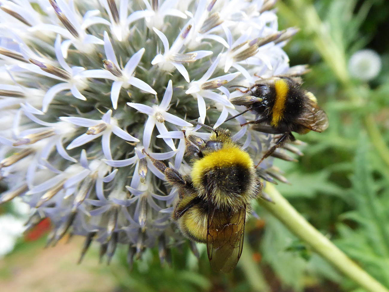 Bumbles on Echinops