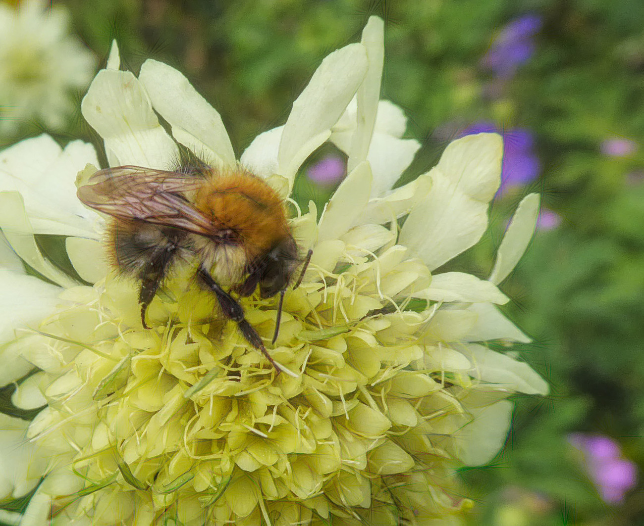 Bee on White Giant Scabious
