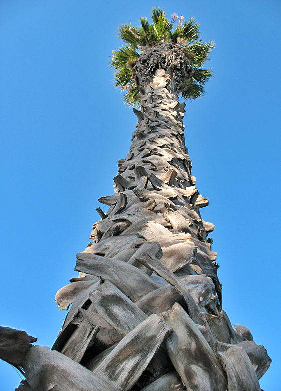 Palm tree looking up #2