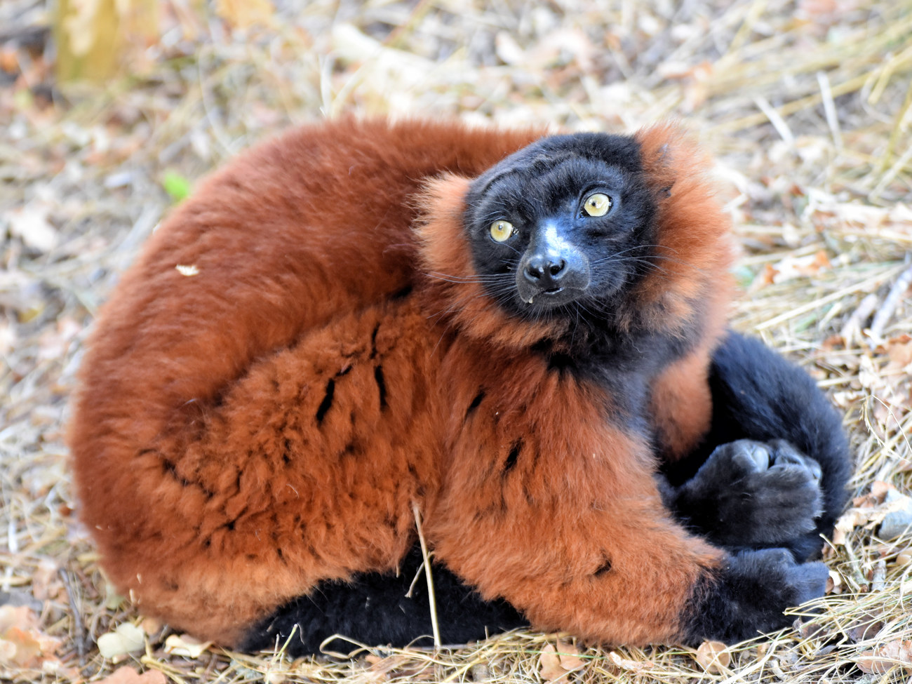Vari roux - Red ruffed lemur 1