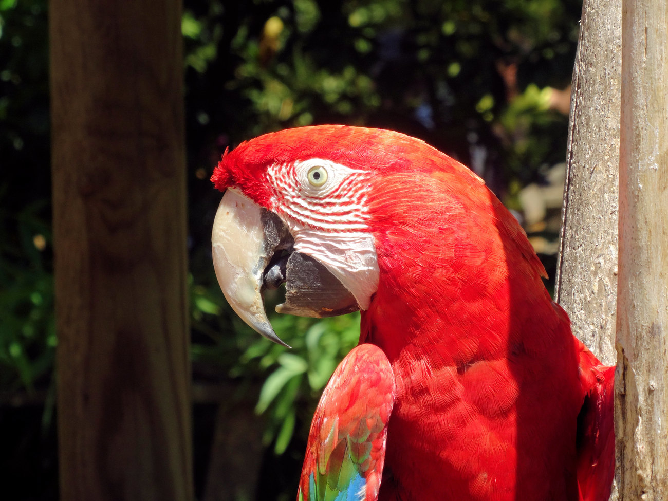 Ara chloroptère - Red and green macaw 2