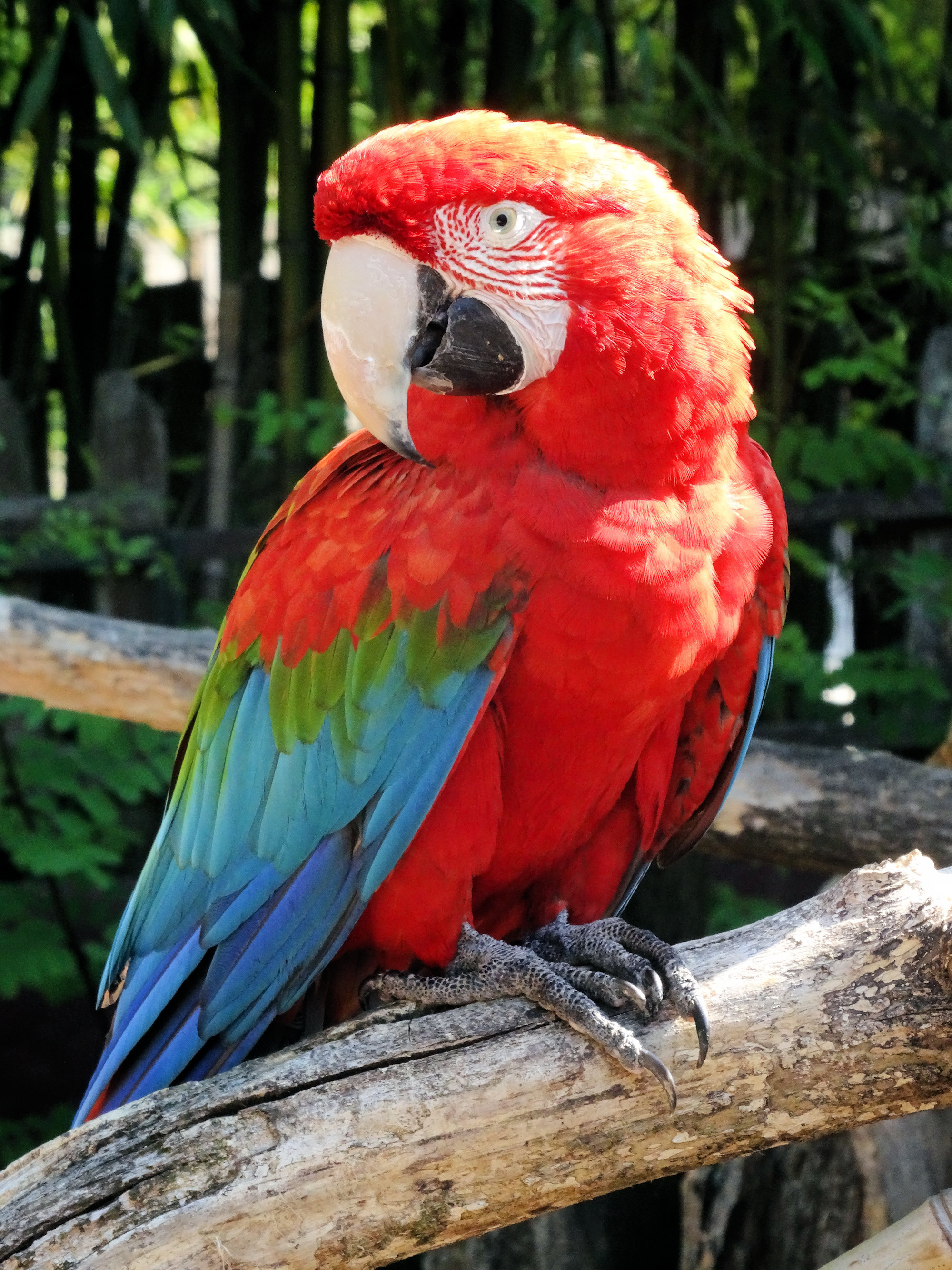 Ara chloroptère - Red and green macaw
