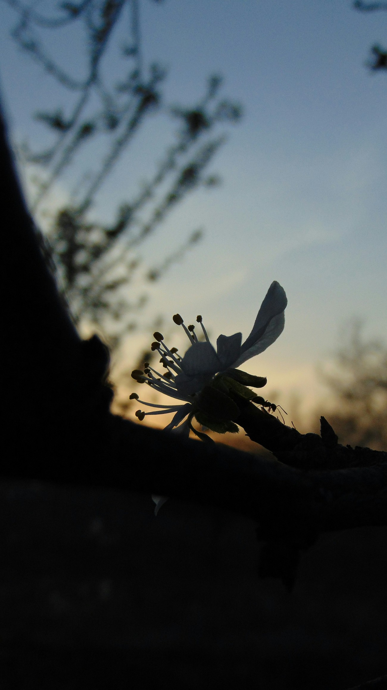 Sunset with flower and ant