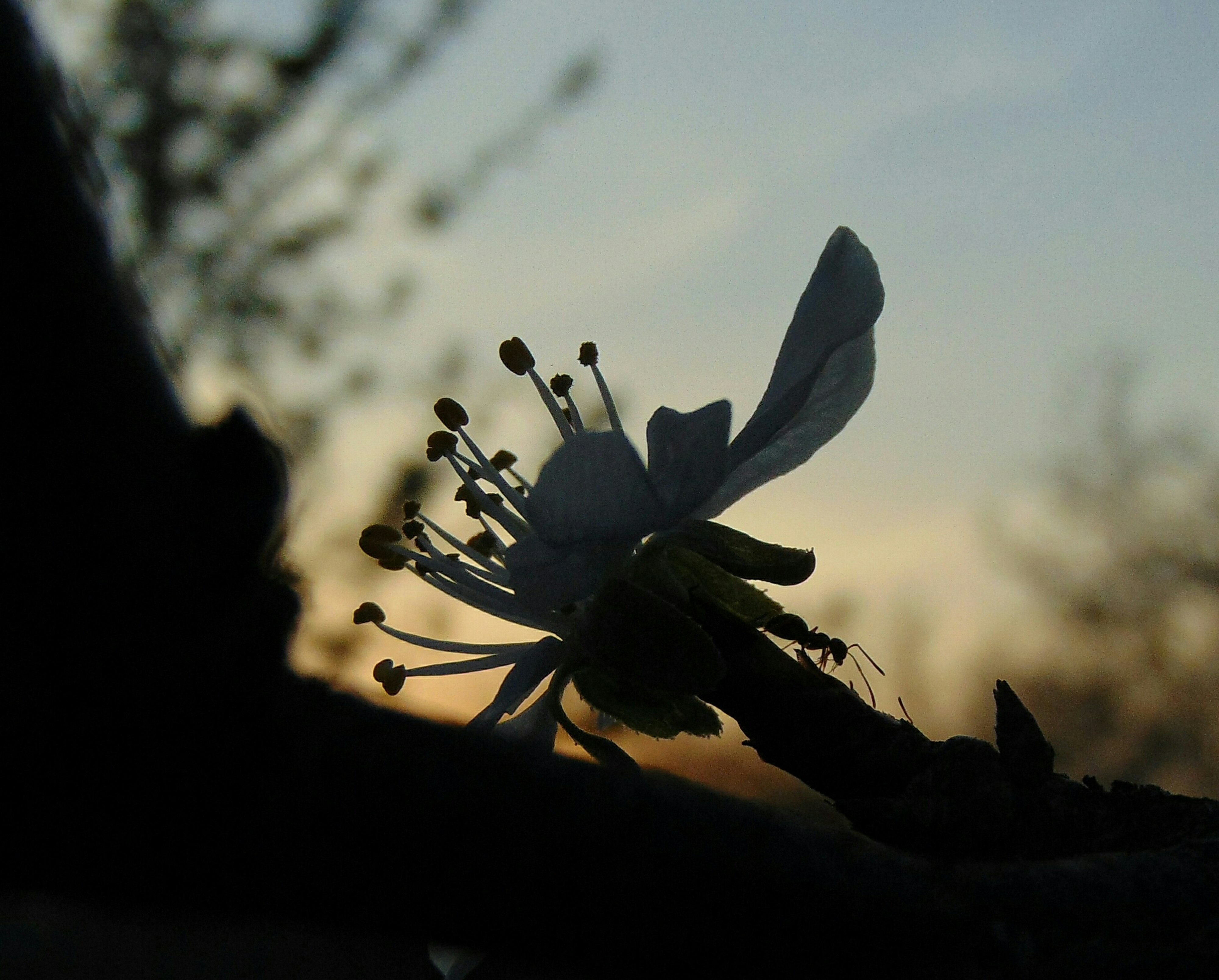 Sunset with flower and ant (detailed)