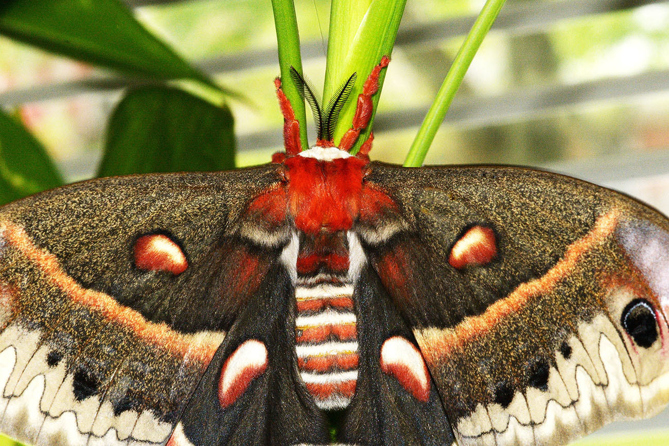 Hyalophora cecropia (Female