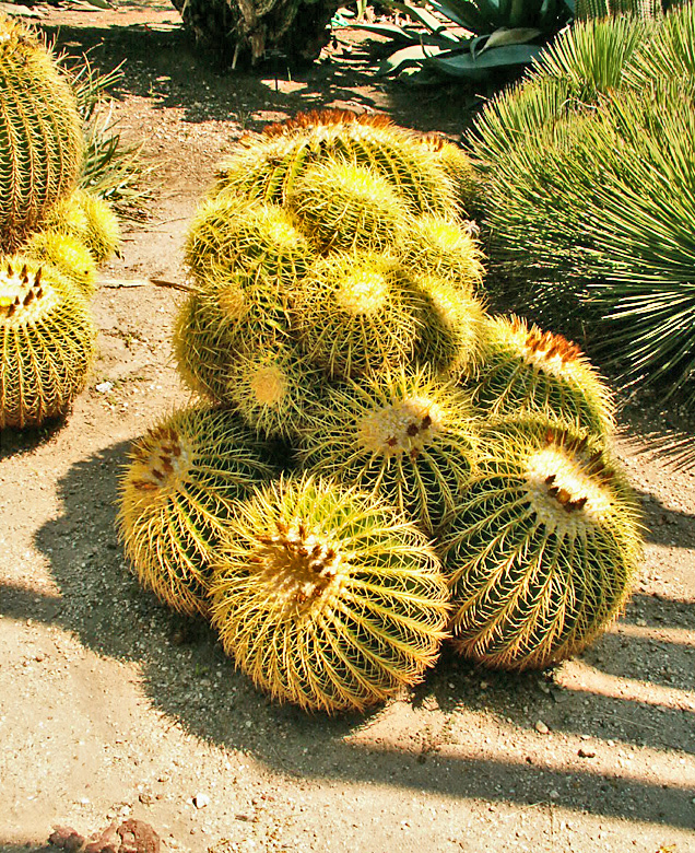 Golden barrel cacti #3