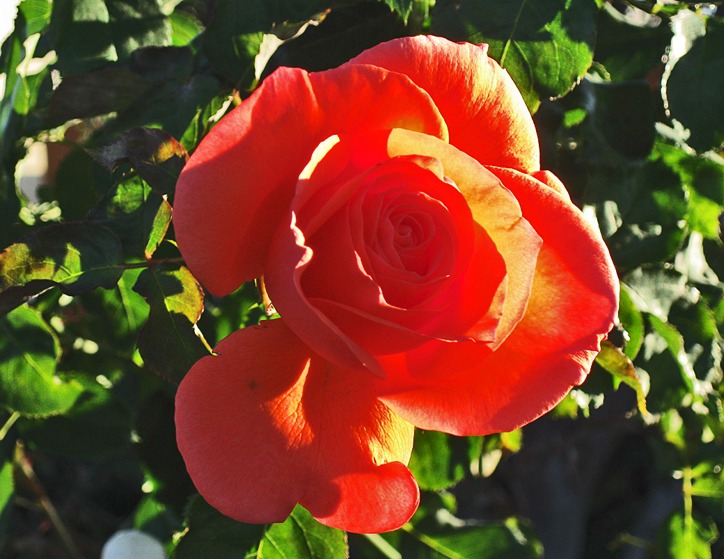 My rose for today #534