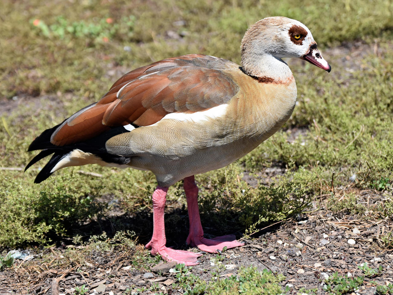 Ouette d'Égypte - Egyptian goose by kordouane
