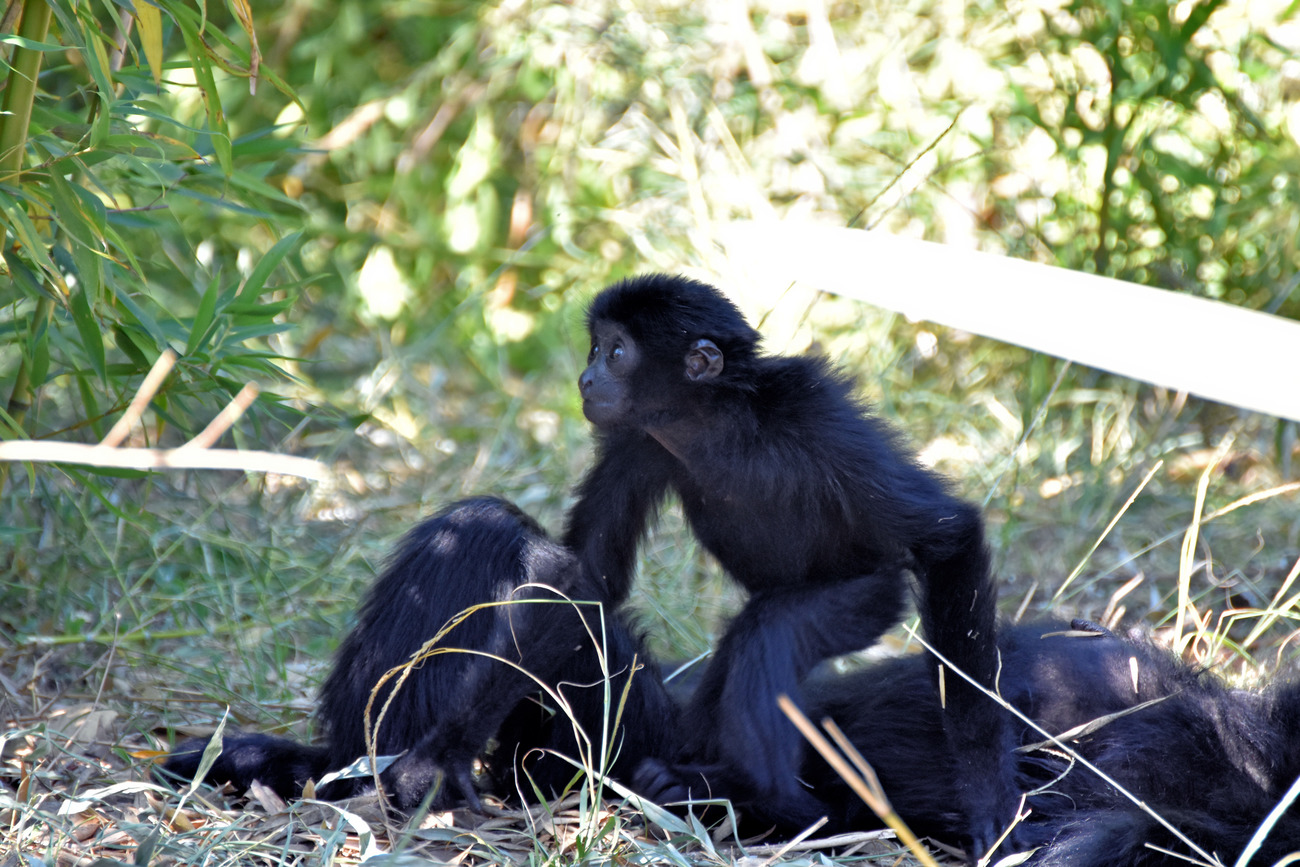 Siamang Mum and her child