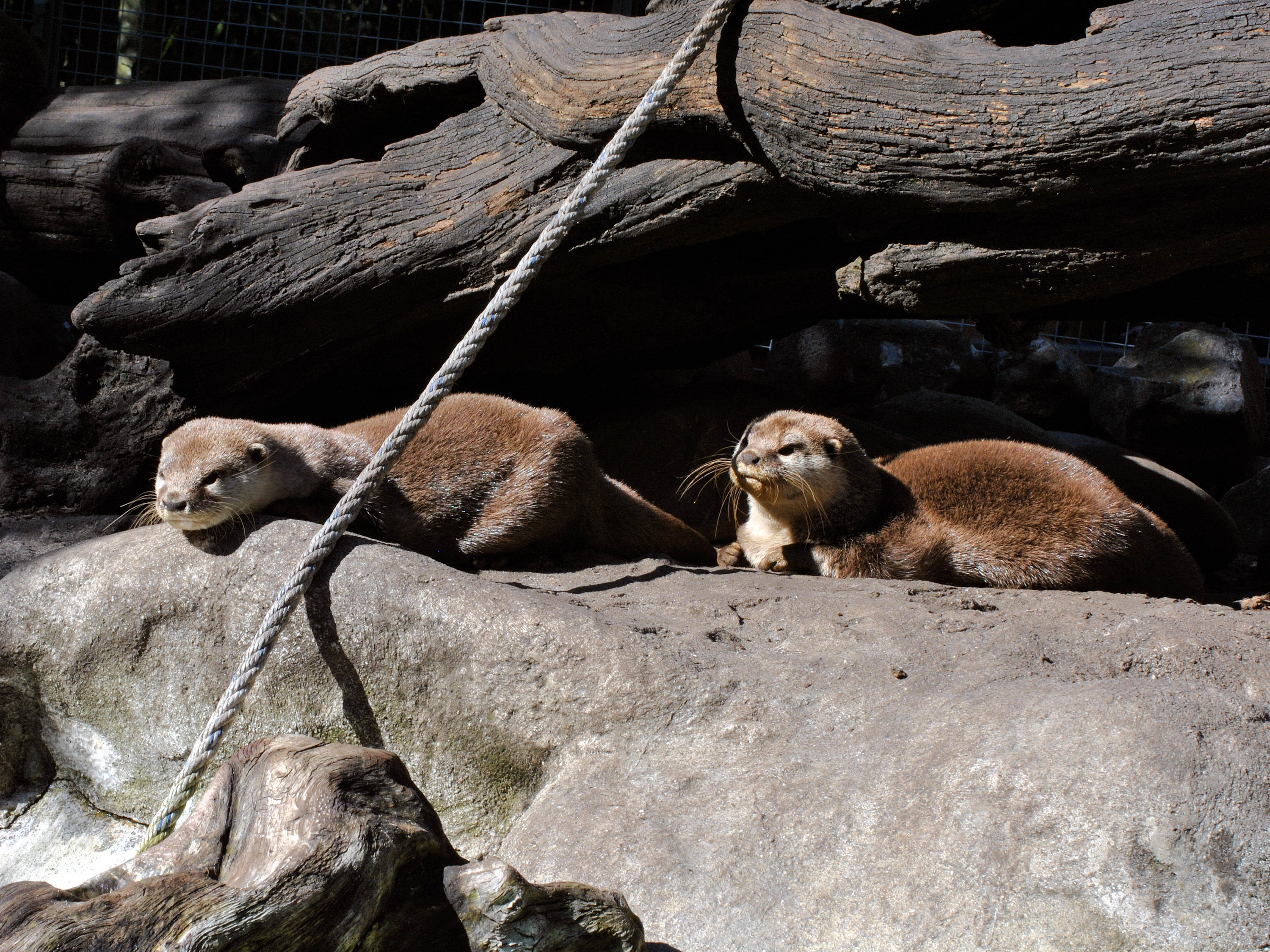 Loutre cendree - Asian small-clawed otter 3