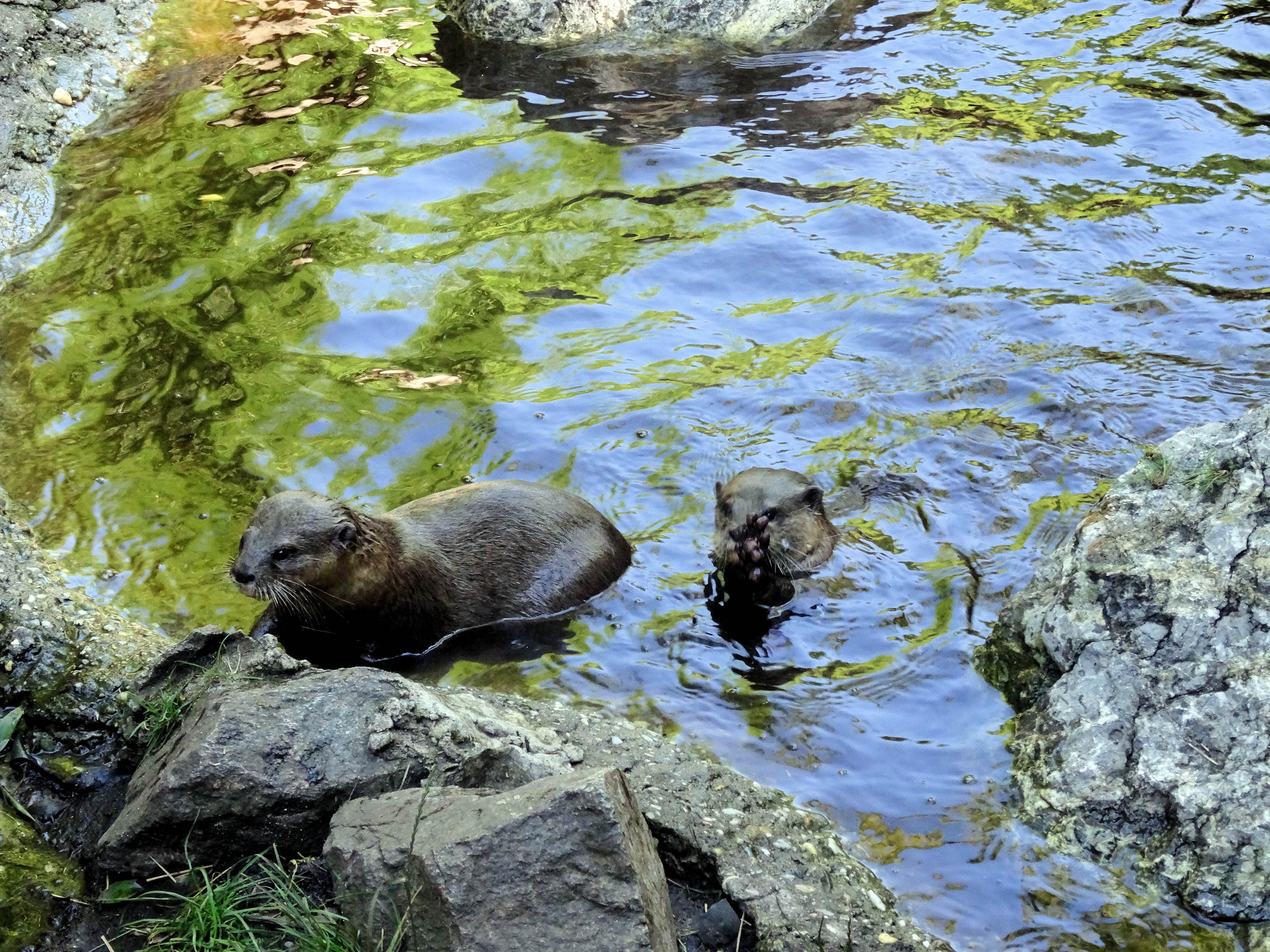Loutre cendree - Asian small-clawed otter 2