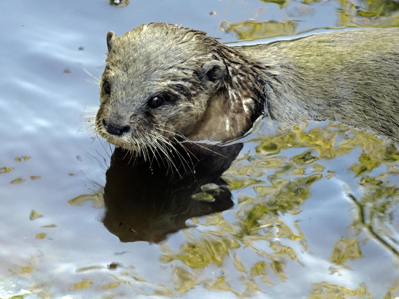 Loutre cendree - Asian small-clawed otter by kordouane