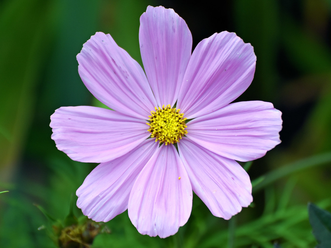 Cosmos flower by kordouane