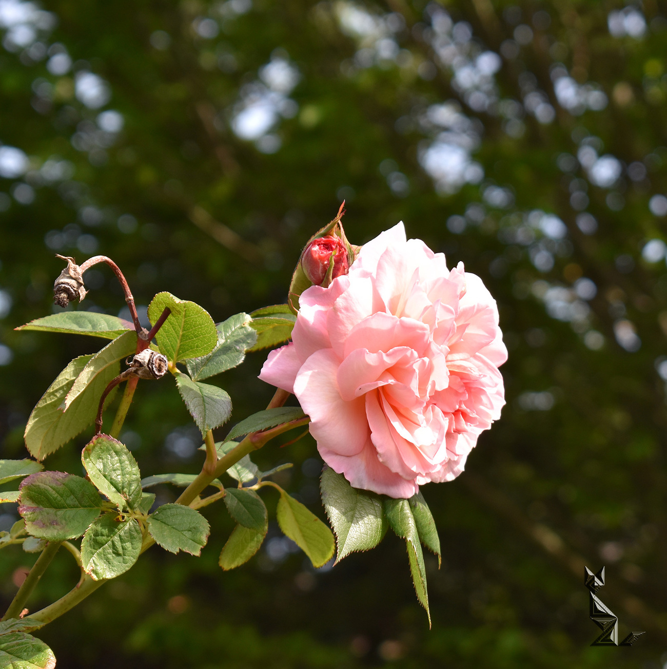 A Shropshire Lad - Rose (1) by A_Sunbeam