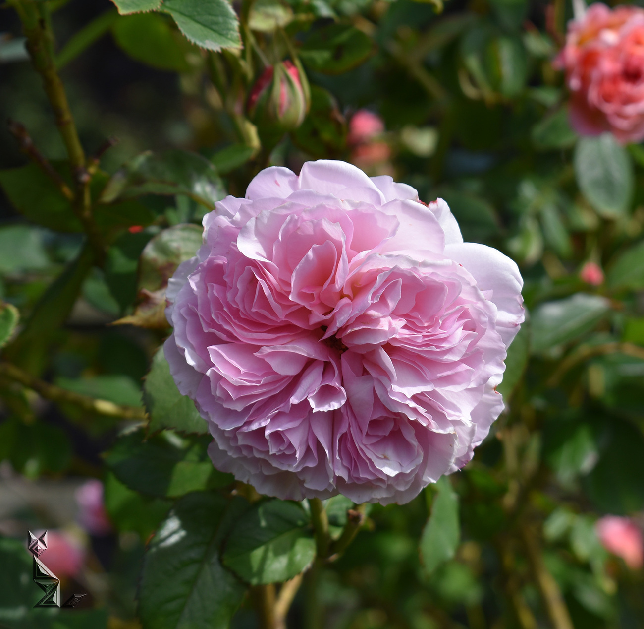 A Shropshire Lad Rose (2) by A_Sunbeam
