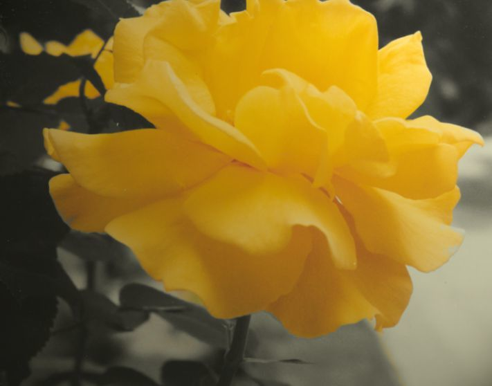 Yellow Rose by nish