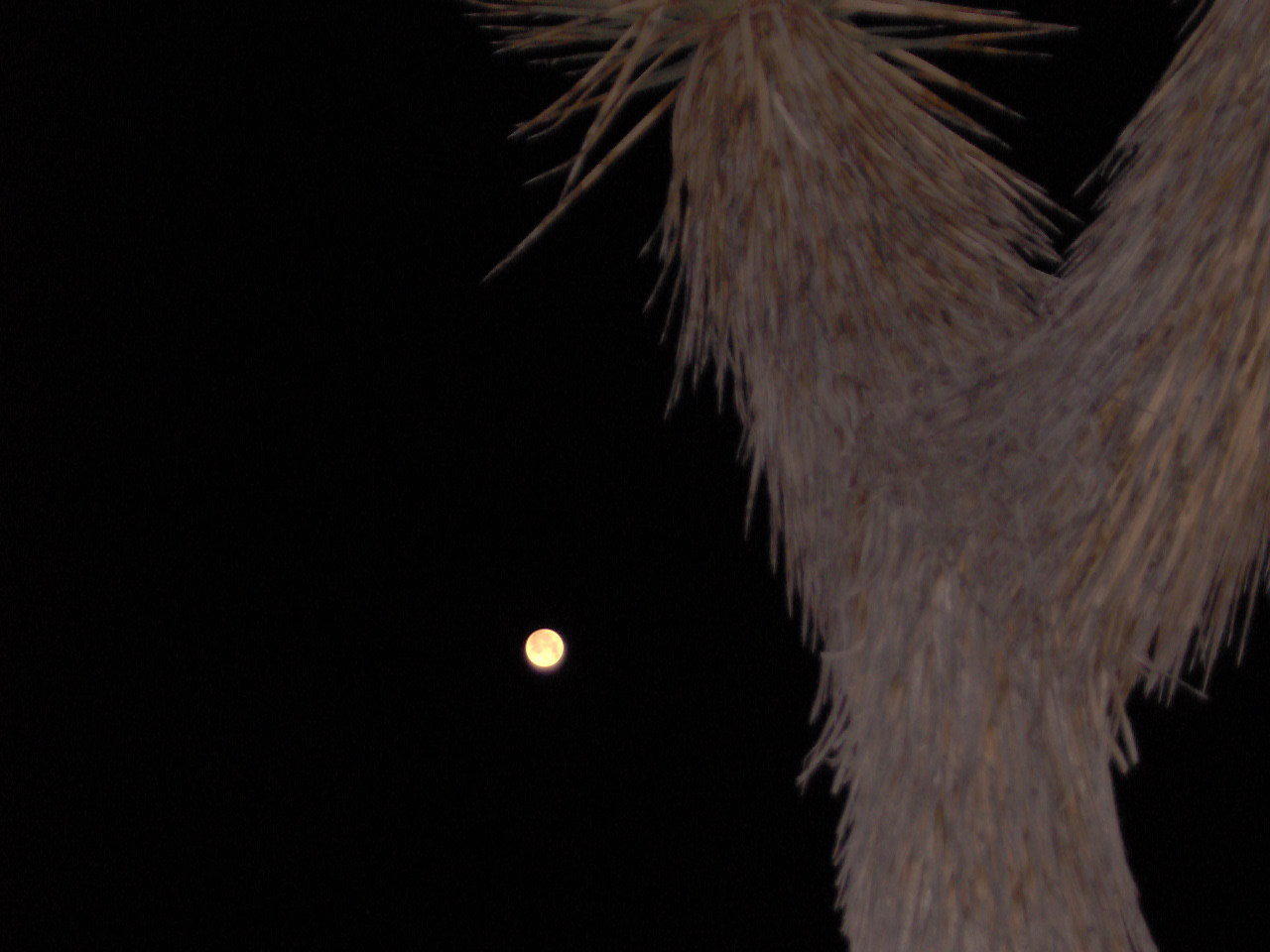 Red Moon Yucca